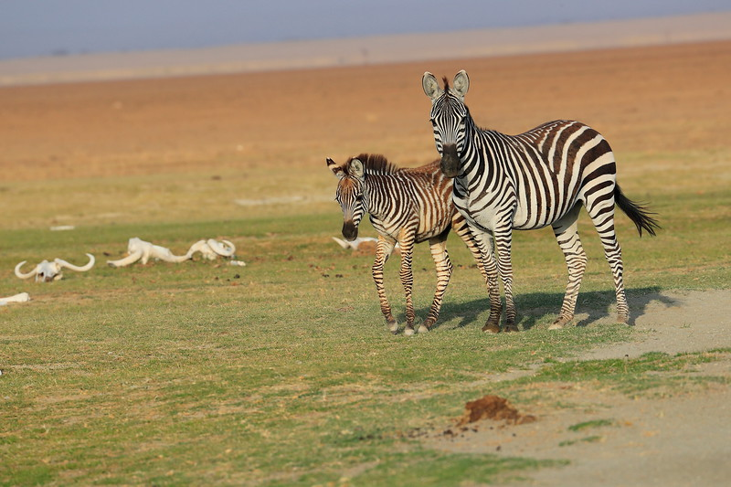 Zebra_Amboseli_Elewana__0004