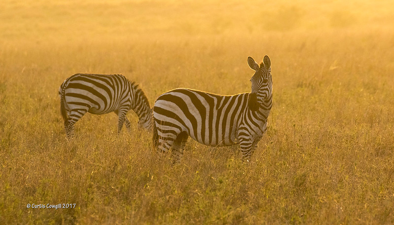 Zebra early morning