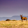 Hartebeest on the Mara