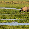 Elephant in the Amboseli Marsh
