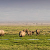 Elepahnts feeding in the Amboseli Marsh