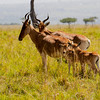 Hartebeest and calves