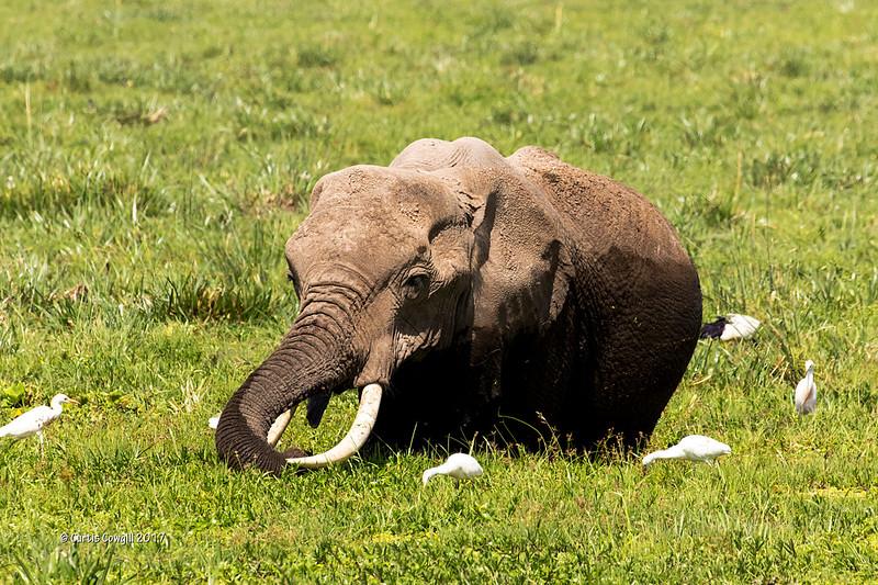 Elephant feeding in marsh