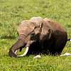 Elephant feeding in marsh