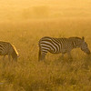Zebra Early morning