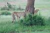 Cheetah_Brothers_Asilia_2018_Mara__0049