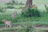 Cheetah_Brothers_Asilia_2018_Mara__0042