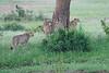 Cheetah_Brothers_Asilia_2018_Mara__0046