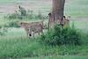 Cheetah_Brothers_Asilia_2018_Mara__0052