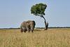 Elephant_Acacia_Tree_Mara_Asilia_2018_Mara__0003