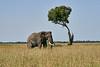 Elephant_Acacia_Tree_Mara_Asilia_2018_Mara__0002