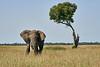 Elephant_Acacia_Tree_Mara_Asilia_2018_Mara__0005