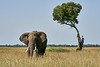 Elephant_Acacia_Tree_Mara_Asilia_2018_Mara__0006