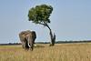Elephant_Acacia_Tree_Mara_Asilia_2018_Mara__0004