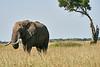 Elephant_Acacia_Tree_Mara_Asilia_2018_Mara__0007