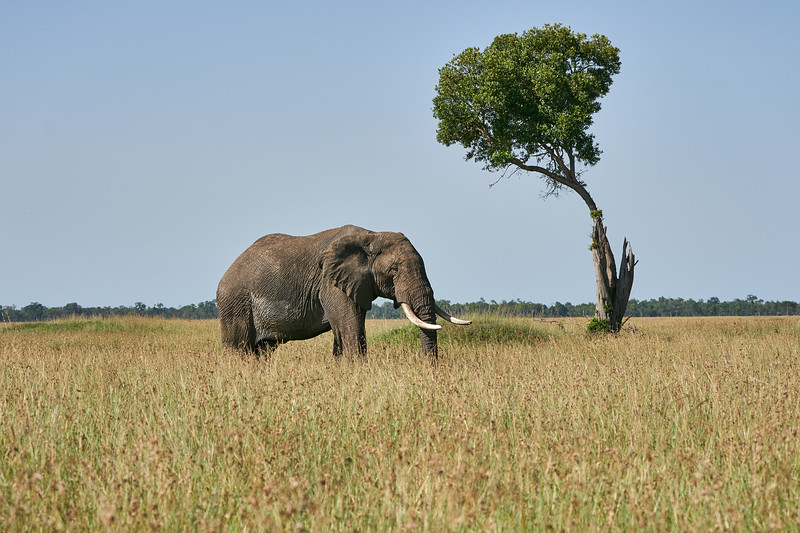 Elephant_Acacia_Tree_Mara_Asilia_2018_Mara__0001