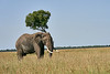Elephant_Acacia_Tree_Mara_Asilia_2018_Mara__0009