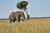 Elephant_Acacia_Tree_Mara_Asilia_2018_Mara__0008
