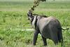 Elephant_Plant_Clothing_Asilia_2018_Mara__0009