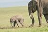 Elephant_Asilia_2018_Mara__0191