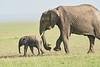 Elephant_Asilia_2018_Mara__0188