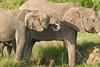 Elephant_Asilia_2018_Mara__0155
