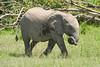 Elephant_Asilia_2018_Mara__0151