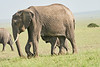 Elephant_Asilia_2018_Mara__0185