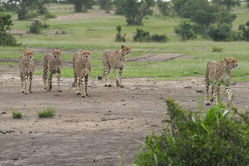 Cheetah_Brothers_Asilia_2018_Mara__0028