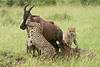 Cheetah_Brothers_Topi_Kill_Asilia_2018_Mara__0205