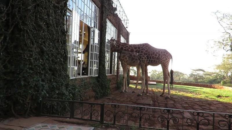 Giraffe Manor 2018 Video