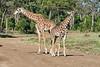 Giraffe_Mara_2018__0020