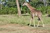 Giraffe_Mara_2018__0010