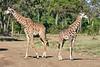Giraffe_Mara_2018__0021