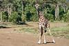 Giraffe_Mara_2018__0031