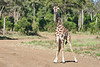 Giraffe_Mara_2018__0024
