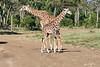 Giraffe_Mara_2018__0019