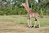 Giraffe_Mara_2018__0011