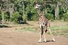 Giraffe_Mara_2018__0030