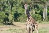 Giraffe_Mara_2018__0027