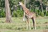 Giraffe_Mara_2018__0002