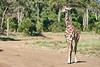 Giraffe_Mara_2018__0023