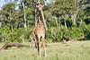 Giraffe_Mara_2018__0004