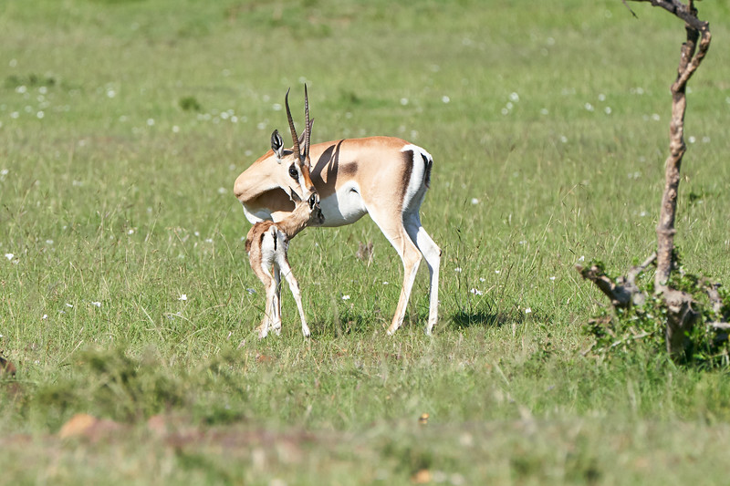 Grants_Gazelle_Mara_2018_Asilia__0043