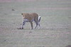 Leopard_Adult_Mara_2018_Asilia__0050