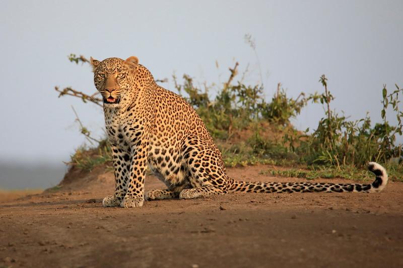 Leopard_Adult_Mara_2018_Asilia__0069