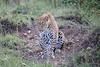 Leopard_Cubs_Mara_2018_Asilia__0052
