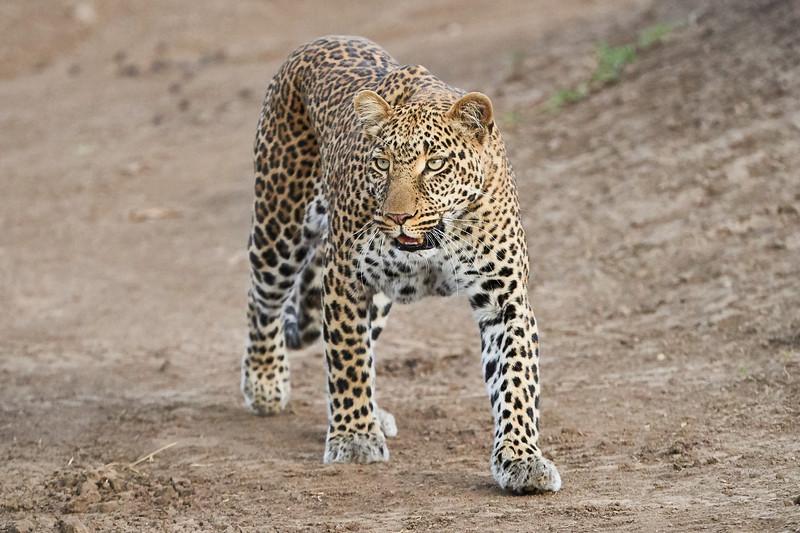 Leopard_Adult_Mara_2018_Asilia__0098