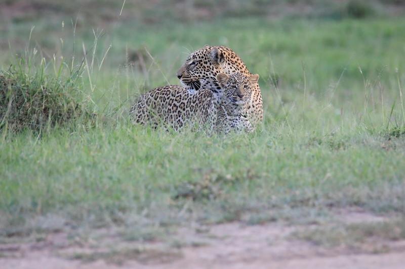 Leopard_Adult_Mara_2018_Asilia__0010