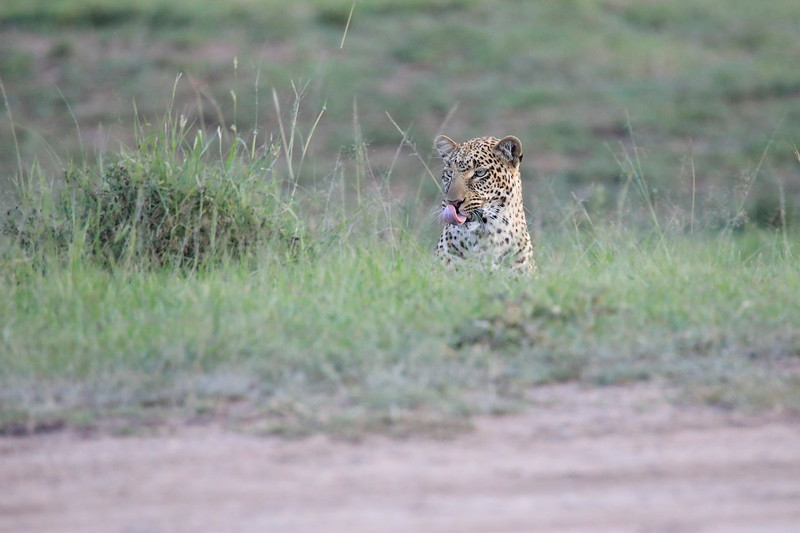 Leopard_Adult_Mara_2018_Asilia__0008